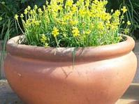 Pot of Lachenalia mathewsii