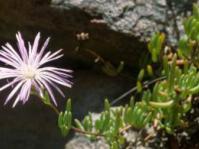 Lampranthus affinis