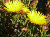 Bright yellow Lampranthus bicolor flowers