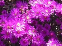 Lampranthus hoerleinianus flowers