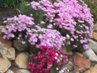 Lampranthus roseus