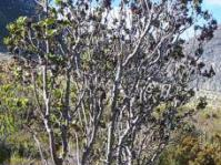 Laurophyllus capensis female tree in habitat