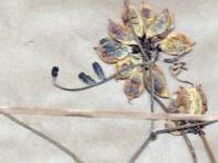 Lessertia - pressed herbarium specimen