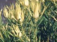 L.salignum