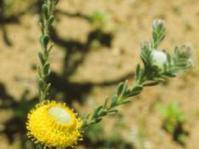 Leucadendron levisanus male in flower
