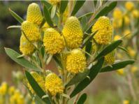 Leucadendron macowanii, male flowerheads.