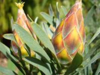 Leucadendron rubrum