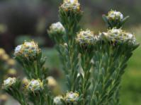 Leucadendron linifolium