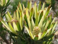 Leucadendron loeriense female cones in flower
