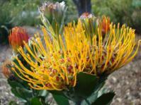 Leucospermum praecox flower heads
