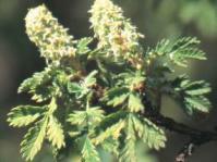 Flowers of Leucosidea sericea