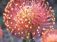 Leucospermum cordifolium 'Vlam'