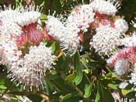 Leucospermum bolusii