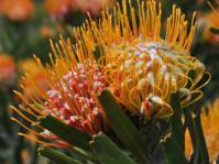 Leucospermum erubescens flower heads