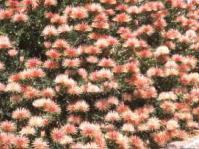 Leucospermum tottum