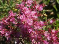 Limonium peregrinum flowers