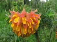 Liparia spendlens subsp.splendens