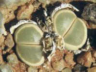 Lithops olivacea