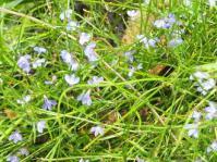 Lobelia anceps groundcover