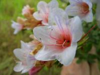 Lobostemon fruticosus flowers