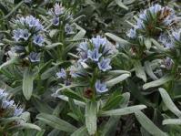 Lobostemon montanus shrub
