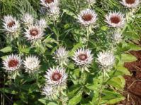 Macledium zeyher plants