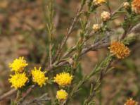 Marasmodes undulata