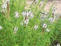 Mentha longifolia subsp.capensis