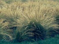 Merxmuellera macowanii
