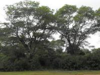 Millettia stuhlmannii trees