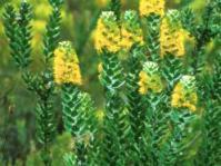 Mimetes chrysanthus: Photo: Cape Nature Conservation