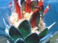 Flowerhead of Mimetes hottentoticus