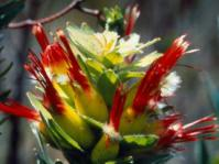 Inflorescence - Mimetes hirtus