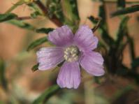 Monsonia angustifolia.  Flower