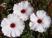 Monsonia speciosa flowers