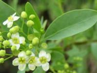 Montinia male flowers