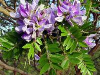 Mundulea sericea flowers and leaves