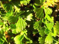 Leaves. Image A dreyer