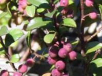 Berries of M africana