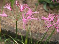 Nerine filifolia