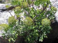 Notobubon galbanum shrub