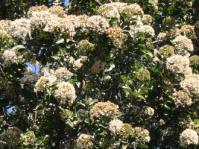 Nuxia congesta flower heads