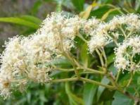 Flowerhead of Nuxia floribunda
