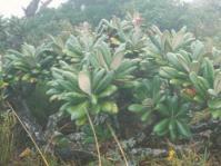 Oldeburgia  grandis