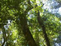 subsp. macrocarpa