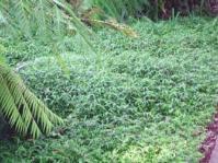 Oplismenus hirtellus growing under tree ferns