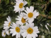 Osmitopsis asteriscoides flowers