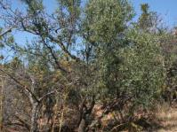 Osyris lanceolata tree