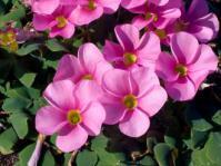 Pink Oxalis purpurea