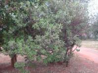Ozoroa obovata tree